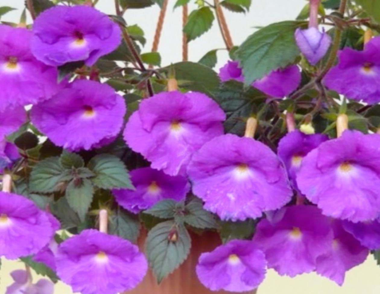 Ахименес фиолетовый