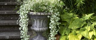 dihondra-serebristyj-vodopad-foto