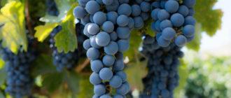 vinograd-attika