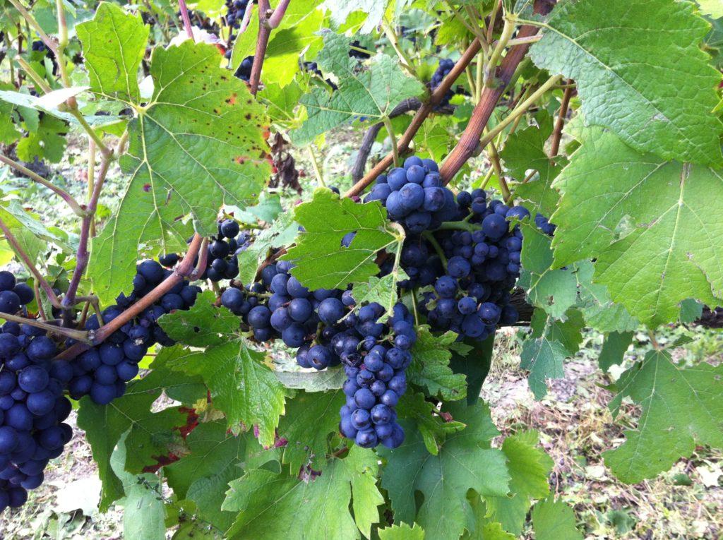 pravilnaya-posadka-vinograda-attika