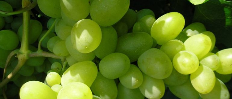vinograd-bazhena