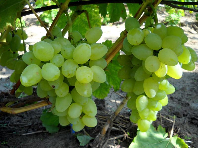 vyrashivanie-vinograda-bazhena
