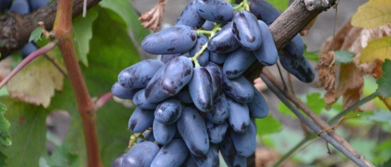 vinograd-bajkonur