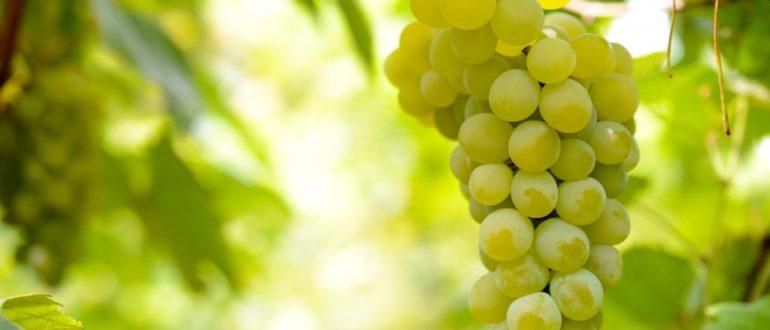 vinograd-bianka