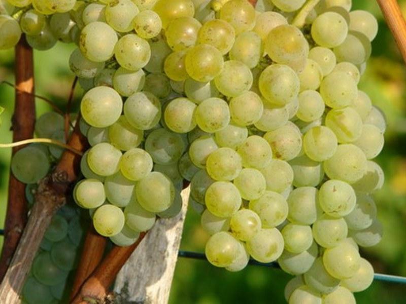 harakteristiki-vinograda-bianka