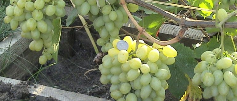 vinograd-blagovest
