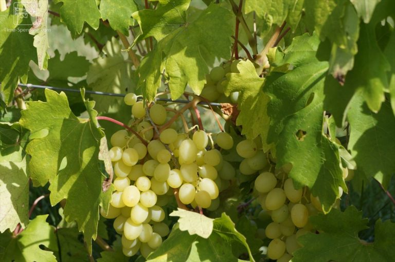 obrezka-i-sposoby-razmnozheniya-vinograda-blagovest