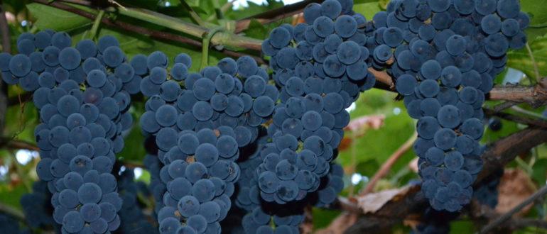 vinograd-markett