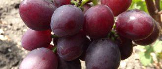 vinograd-everest