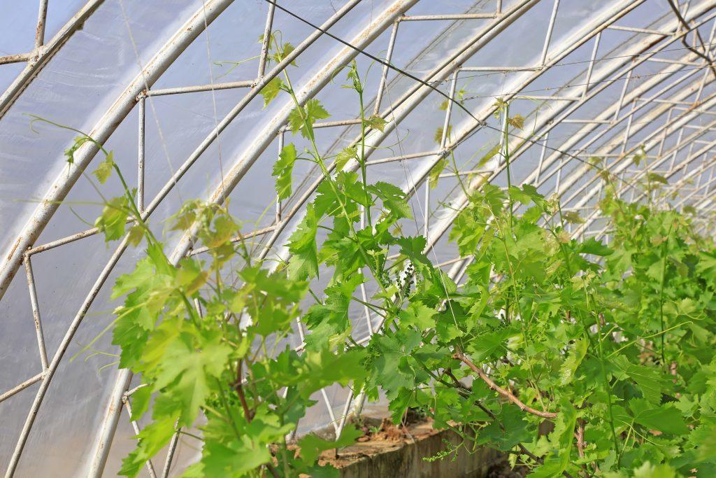 vysadka-v-vinogradnoj-teplice