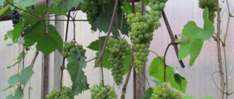 vinogradnaya-teplica