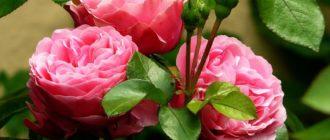 rozy-iz-cherenka