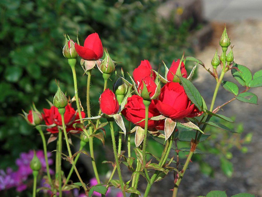 vyrashivanie-rozy-iz-cherenkov