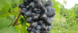 vinograd-atos