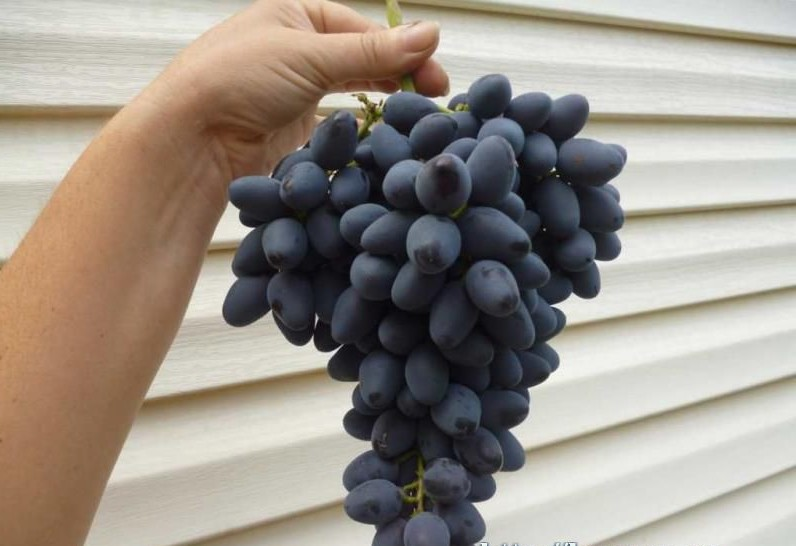 harakteristiki-vinograda-atos