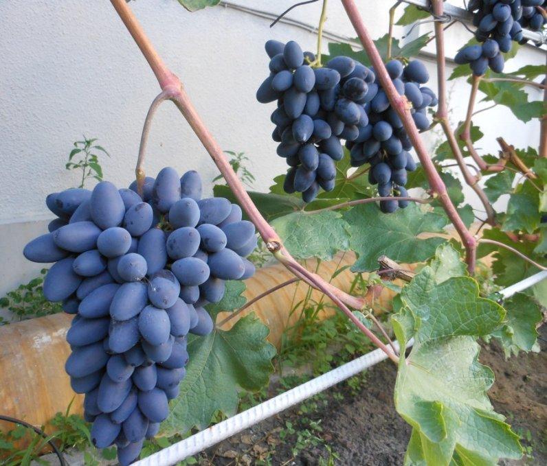 uhod-za-vinogradom-atos